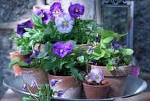 Stiefmütterchen für Garten und Balkon #1000gutegruende / #1000gutegruende