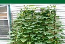 Learn how to grow cucumbers vertically.