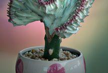 Rare Cactus & Succulents