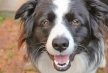 Basil the Border Collie / Wozzie