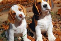 Beagle. ^__^