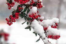 Pihlaja talviasussa