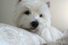 west highland white terrier-Gremi