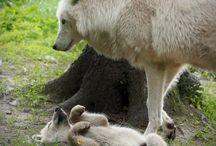 White/gold wolves