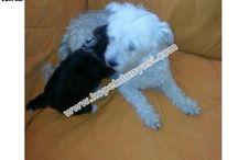 White Terrier  / White Terrier