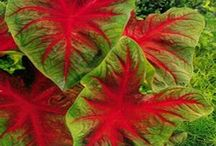 CALADIUMS / Caladium is a genus of flowering plants in the family Araceae. They are often known by the common name elephant ear, Heart of Jesus, and Angel Wings. Wikipedia