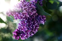 My favorite Lilac Bush Flowers Deep Royal purple / My Favorite Flower / by Tonya Wall