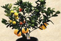 fruit hybrid