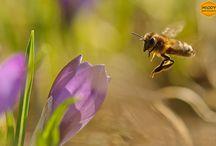 Pszczoły i rośliny pożytkowe / Foty roślin miododajnych z pszczołami i zapylaczami.