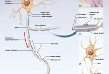 Neural Bases / by Jennifer Hecker