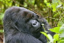 gorilas