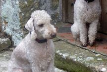 Teddy and Rupert on holiday / Our Bedlington Terriers in Shropshire