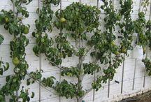Æbletræ på mur