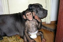 Loving animals-chimpazi and dog