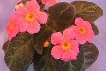Favorite Episcias / Some of our favorite Episcia varieties.