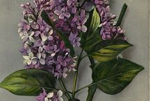 Flowers, plants, herbs illustrations