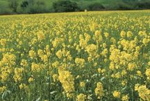 Fields of Mustard / We love to eat it and cook with it, but mustard is also beautiful to see in bloom!