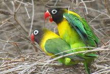 10 Cara Membedakan Lovebird Jantan dan Betina yang Paling Akurat