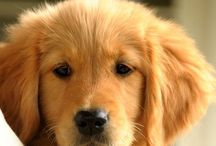 Golden Retriever  / by Belle Burns