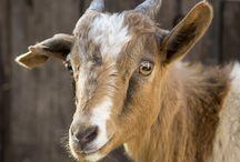 Goats-Κατσικες