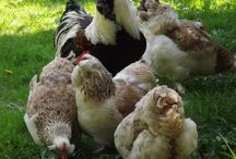 Chicken coops and chickens. / Some day I would love to have a few chickens. / by Solidago.
