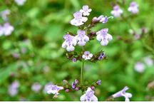 Piante aromatiche e fitoterapia