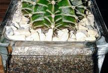 Gymnocalycium michanovichii