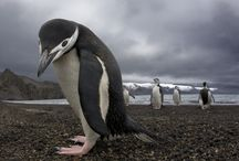 for the Love of Penguins! / Who Doesnt Love Penguins!? / by Jessica Delano Pegram
