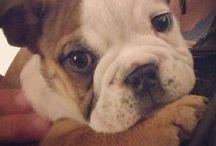 Aww / Bulldog