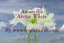 Amaryllis Video Clips / Time-lapse video clips of growing, opening, rotating and dying amaryllis flowers