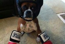 No Better Dog than a Boxer