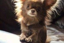 Chihuahua / Любимая порода