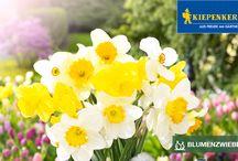 Kiepenkerl - Blumenzwiebeln / Kiepenkerl steht für Freude am Gärtnern. Darum achten wir auch besonders auf die Qualität unserer Blumenzwiebeln. Diese kommen direkt aus dem holländischen Anbaugebiet und werden in unserer niederländischen Niederlassung stets auf Qualität, Wuchskraft und Blühfreude überprüft.