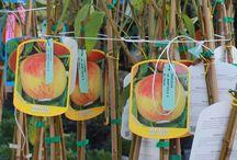 Percoche - Percoca / Vendita Online Piante di Percoche in vaso. Sale Online Percoca Trees in pot.