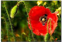 Fiori spontanei / Fiori selvatici nel loro ambiente naturale