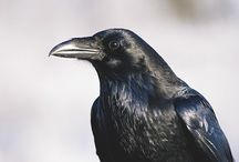 ♥ The Crow/The Raven ♥  / by Donna Mann (FromWithinMyHeart)