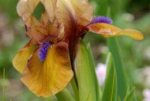 Iris jaune et violet