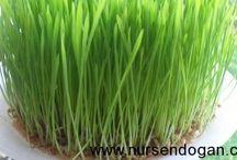 buğday cimi