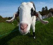 How Swede is your goat? / Goats and all things Scandinavian