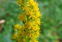 Herbs: Goldenrod