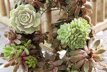 Succulents - Suculentas