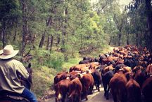 Heritage Cattle Drive / Images from the Forge's Annual North East Heritage Cattle Drive. The largest droving trip in Victoria, Australia. www.forgesfarm.com