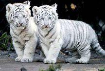 tigre  ❤❤❤❤❤