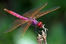 Dragonflies, My Totem Animal...