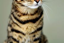 Bengal cats / Bengal cats are beautiful, amazing & smart.