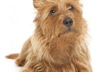 Aussie Terrier / Jolly holiday