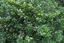 Landscape Plant Materials - Shrubs