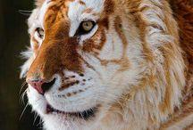 Tiger/Lion