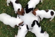 Jack Russell Terriers!!!!