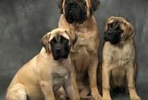 chien mastiff / animaux